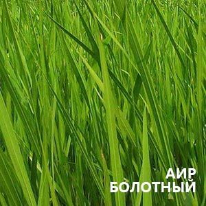Аїр болотний: застосування в народній медицині