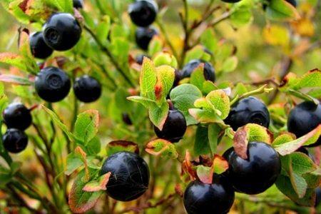 Біологічні характеристики, корисні компоненти і правила заготівлі молодильної ягоди- чорниці звичайної