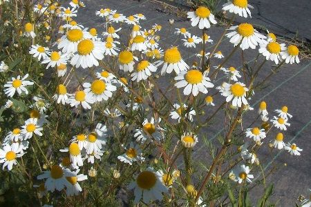 Квітуча цілителька: лікувальні властивості ромашки аптечної