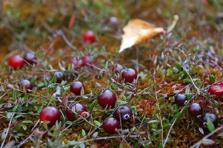 Характеристики лікарської рослини - журавлини болотної