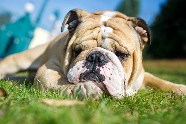 Які вітаміни і мінерали необхідні для собак