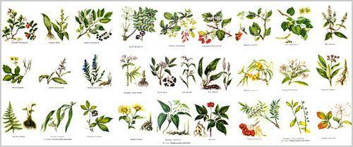 Каталог лікарських рослин