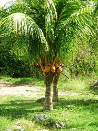 Кокос (кокосовий горіх)
