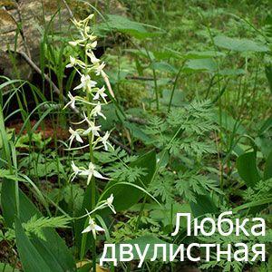 Любка дволиста: лікування рослиною в народній медицині