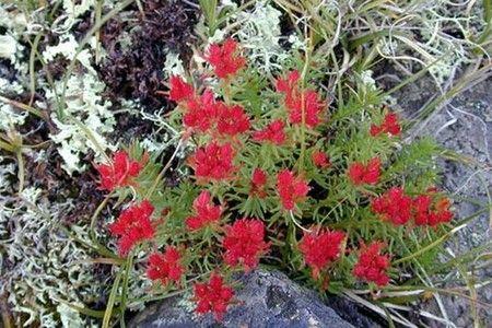 Про червону щітці: трава, яка повертає здоров`я і дарує надію