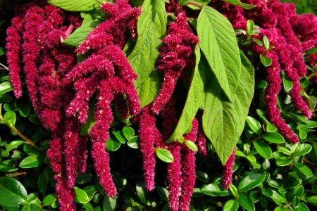 Загальні відомості про лікарську рослину амарант