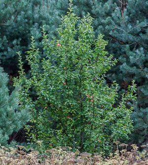 Корисні властивості лісової яблуні