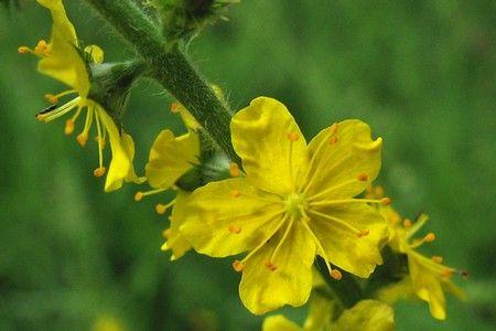 Застосування репешко: лікувальні можливості трави