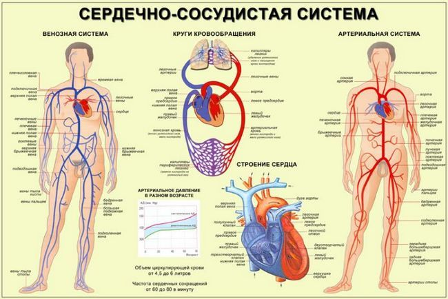 Карта серцево судинної системи