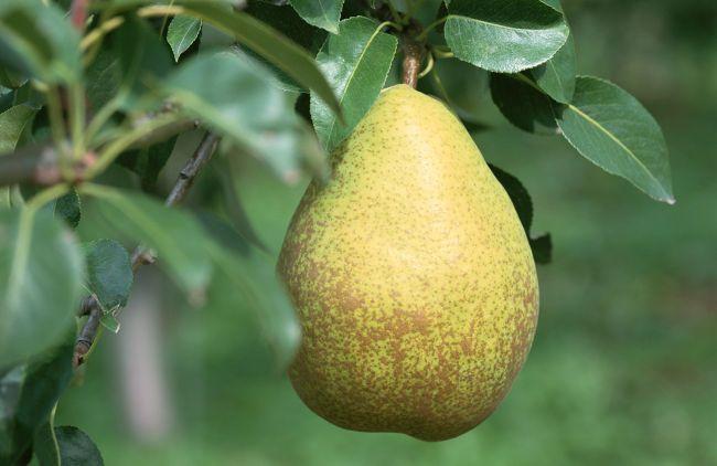 Соковита і корисна вітамінна груша