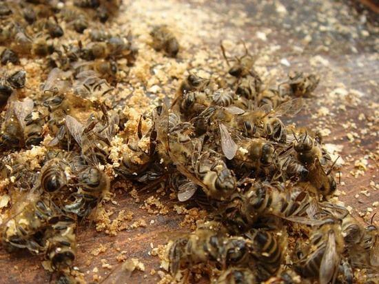 У чому користь і шкода бджолиного підмору?