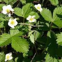 Суниця лісова: корисні властивості, народні рецепти