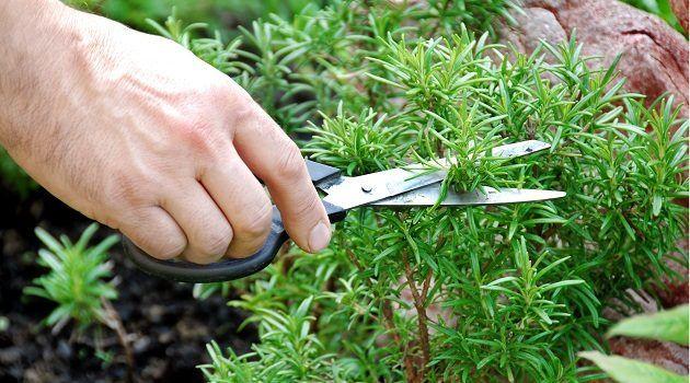 Чи знаєте ви, що ця рослина з вашого саду може допомогти боротися з випадінням волосся?