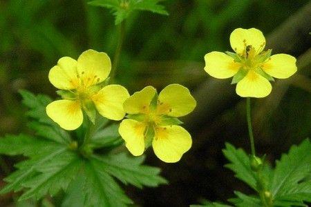 Знамениті лікарські рослини: все про лапчатке прямостоячей